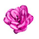 Розовый цветок изолированный на белой предпосылке Стоковые Фотографии RF