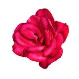 Розовый цветок изолированный на белой предпосылке Стоковое Изображение RF