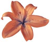 Розовый цветок лилии на изолированной белой предпосылке с путем клиппирования closeup Отсутствие теней Для конструкции Стоковые Фотографии RF