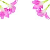 Розовый цветок лилии дождя на белой предпосылке Стоковое Изображение RF