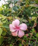 Розовый цветок или цветок гибискуса Стоковое фото RF