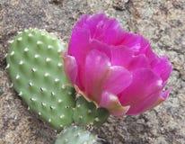 Розовый цветок кактуса Стоковые Фотографии RF