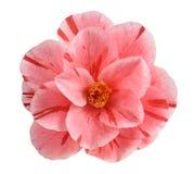 Розовый цветок камелии Стоковое Фото