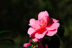 Розовый цветок камелии Стоковые Фото