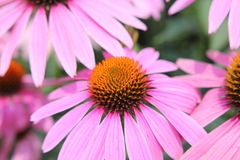 Розовый цветок конуса Стоковые Изображения RF