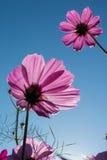 Розовый цветок космоса в саде Стоковые Изображения RF