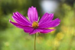 Розовый цветок космоса зацветая в временени в саде в Польше Стоковые Изображения RF