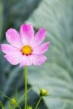 Розовый цветок космоса Стоковые Изображения