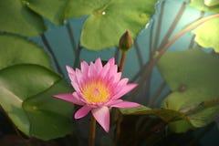 Розовый цветок лотоса в пруде стоковое фото rf