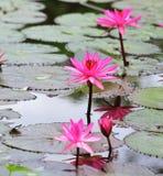 Розовый цветок лотоса Стоковое фото RF