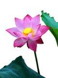 Розовый цветок лотоса, стоковая фотография