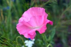Розовый цветок мака в цветени Стоковое фото RF