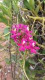 Розовый цветок, малый сад в Бразилии Стоковые Изображения RF