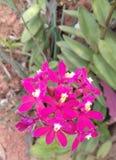 Розовый цветок, малый сад в Бразилии Стоковые Фото