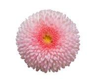 Розовый цветок маргаритки маргаритки изолированный на белой предпосылке Стоковые Изображения