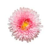 Розовый цветок маргаритки маргаритки изолированный на белой предпосылке Стоковая Фотография