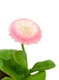 Розовый цветок маргаритки стоковые фото
