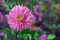 Розовый цветок маргаритки Michaelmas астр на мягко зеленом цвете выходит предпосылка Стоковое Изображение RF