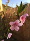 Розовый цветок миндального дерева Стоковые Фотографии RF