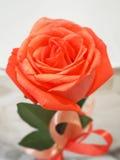 Розовый цветок на белом blackground Стоковая Фотография