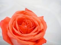 Розовый цветок на белом blackground Стоковые Фотографии RF