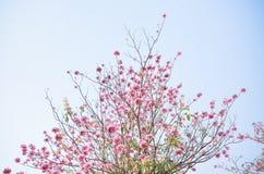 Розовый цветок на высоком свете дерева - голубом небе Стоковые Изображения RF