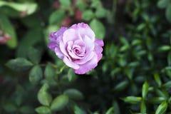 Розовый цветок на зеленой предпосылке стоковые изображения rf