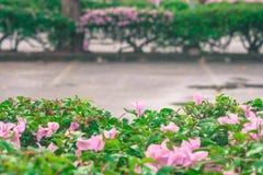 Розовый цветок на зеленом кусте с пустым космосом в предпосылке автостоянки автомобиля Стоковое Изображение RF