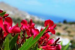 Розовый цветок на острове Родоса стоковое фото rf