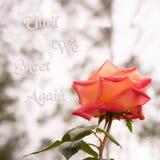 Розовый цветок на предпосылке квадрата карточки сочувствию Стоковые Фото