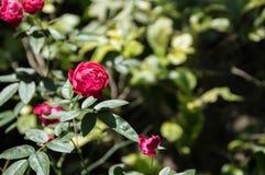Розовый цветок на солнечный день Стоковые Фото