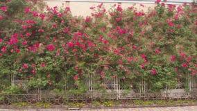 Розовый цветок на стене, зеленая природа акции видеоматериалы