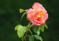 Розовый цветок на темной предпосылке Стоковая Фотография RF