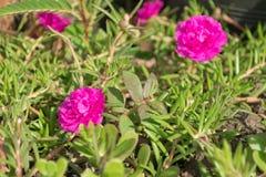 Розовый цветок на траве Стоковые Фотографии RF