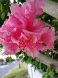 Розовый цветок на цветени стоковое фото rf