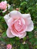 Розовый цветок на цветени Стоковые Фотографии RF