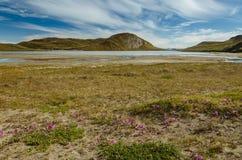 Розовый цветок обезьяны единственный цветок который может выдержать жесткие условия климата greenlandic ледяной шапкой, Гренланди стоковое фото rf