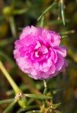 Розовый цветок общего портулака. Стоковые Изображения