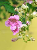 Розовый цветок лозы трубы Стоковое Фото