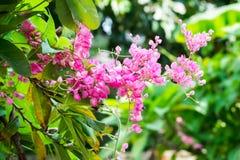 Розовый цветок лозы Confederate Стоковое Изображение RF