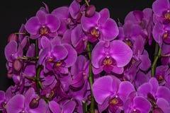 Розовый цветок орхидеи Стоковые Изображения RF