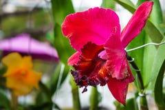 Розовый цветок орхидеи в саде Стоковые Фото