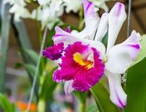 Розовый цветок орхидеи в саде Стоковая Фотография RF