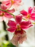 Розовый цветок орхидеи Стоковая Фотография