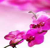 Розовый цветок орхидеи Стоковое фото RF