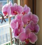 Розовый цветок орхидеи Стоковые Изображения