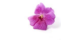 Розовый цветок орхидеи Стоковое Изображение RF