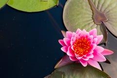 Розовый цветок лотоса в мирном пруде, взгляд сверху Стоковые Фото