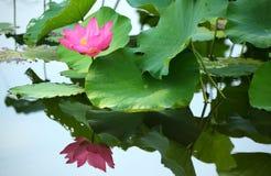 Розовый цветок лотоса зацветая среди сочных листьев в пруде стоковая фотография rf