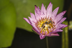 Розовый цветок лотоса и конец внутренности много пчел вверх по изображению Стоковое Изображение
